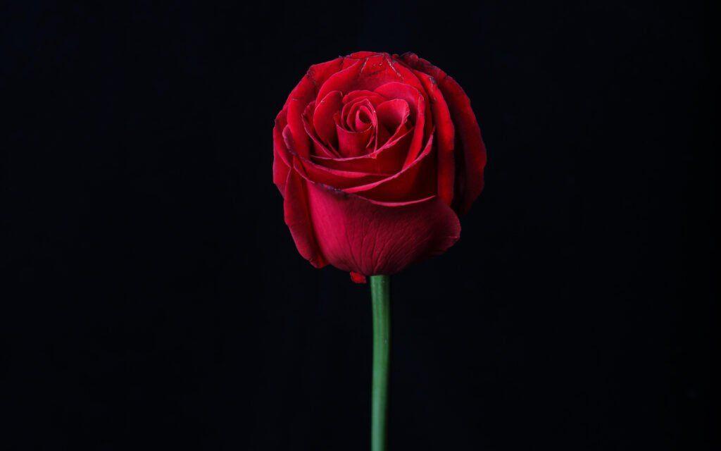 Rose Sex Toy